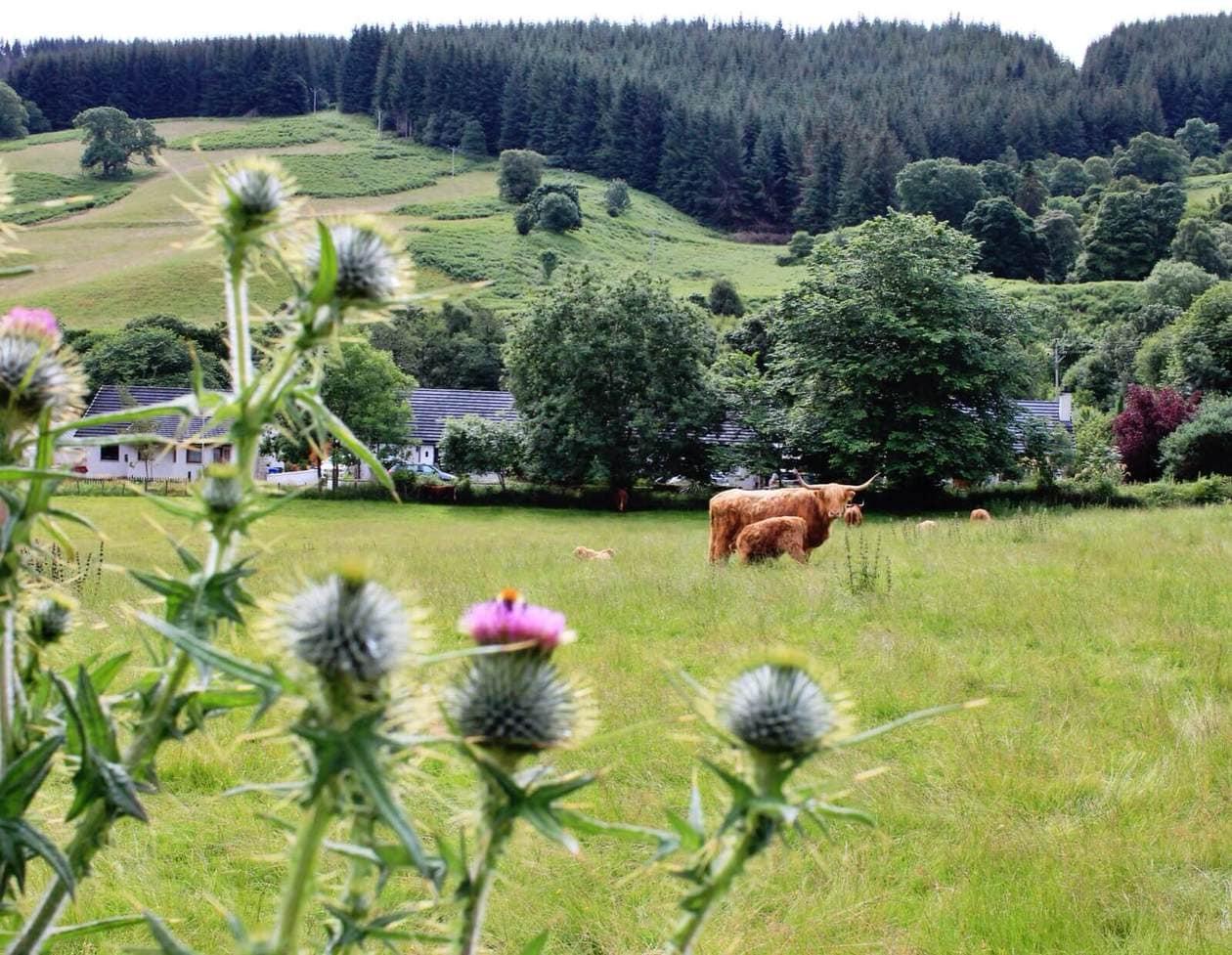 Highland Coo in Drumnadrochit