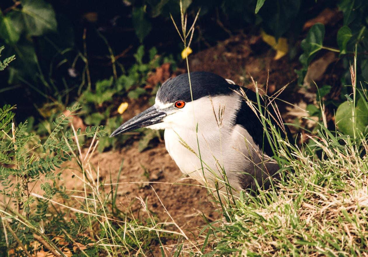 Black Crowned Night Heron // The Kawai Nui and Hamakua marshes are amongst the last remaining 10% of wetlands in Hawaii. They are also the perfect place to easily spot native and endemic Hawaiian birds. Keep reading for more information, plus photos and which birds to look out for...