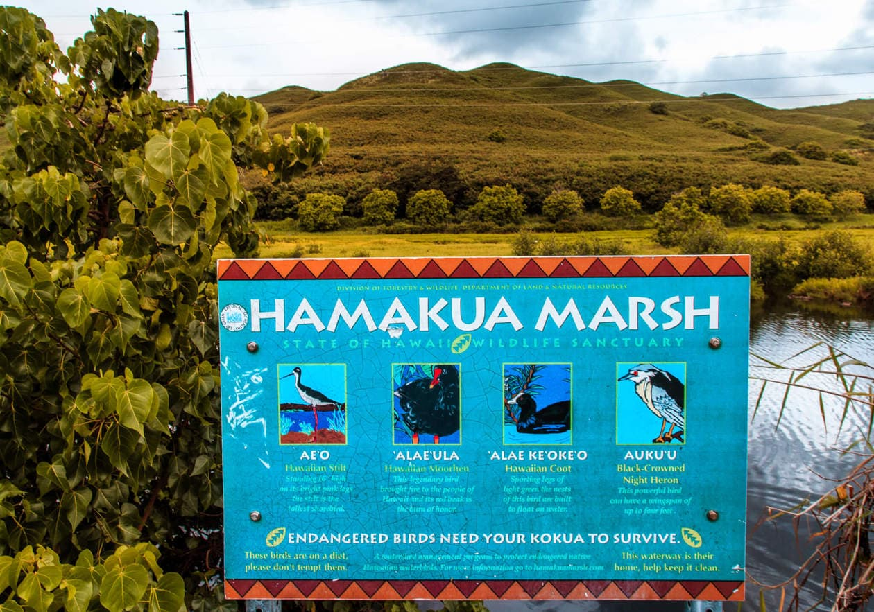 The Kawai Nui and Hamakua marshes are amongst the last remaining 10% of wetlands in Hawaii. They are also the perfect place to easily spot native and endemic Hawaiian birds. Keep reading for more information, plus photos and which birds to look out for...