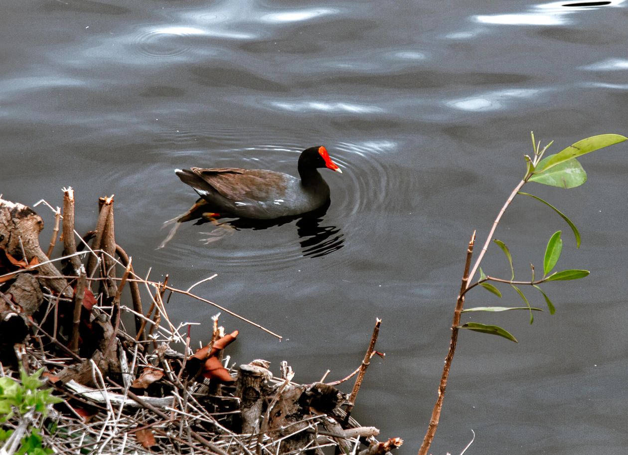 The Hawaiian Moorhen // The Kawai Nui and Hamakua marshes are amongst the last remaining 10% of wetlands in Hawaii. They are also the perfect place to easily spot native and endemic Hawaiian birds. Keep reading for more information, plus photos and which birds to look out for...