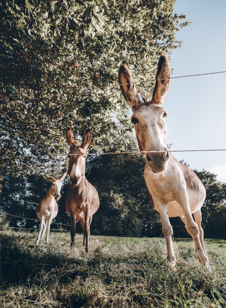 Donkeys at Domaine Arvor Campsite in Brittany