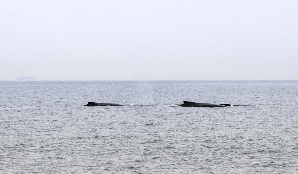 Humpback Whales in Vancouver Canada