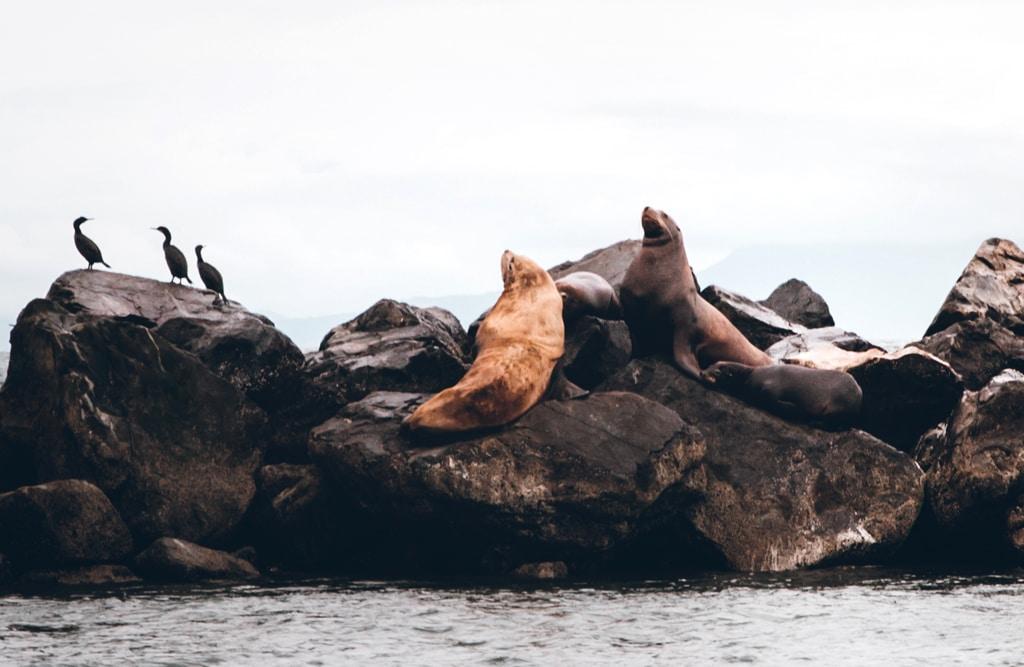 Sea lions in Vancouver, Canada