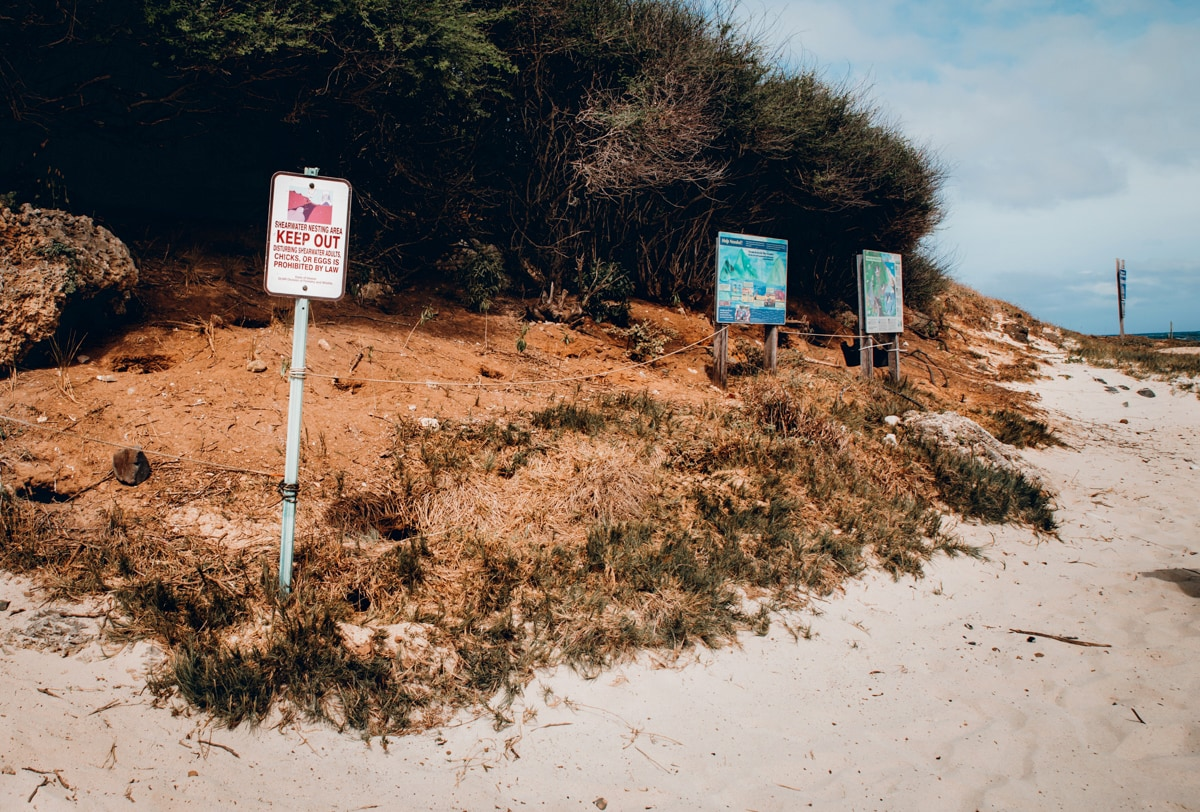 Wedge Tail Shearwater Birds Mokulua Islands