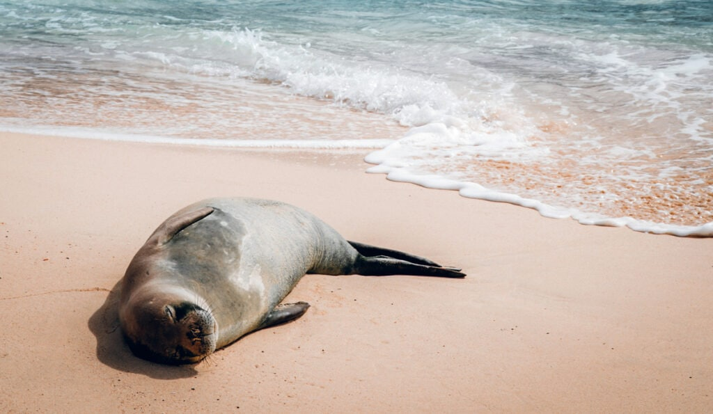 Monk seal on Mokulua Islands