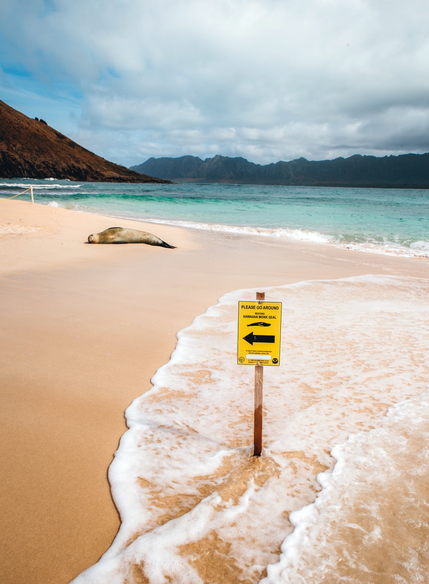 Monk Seal Oahu